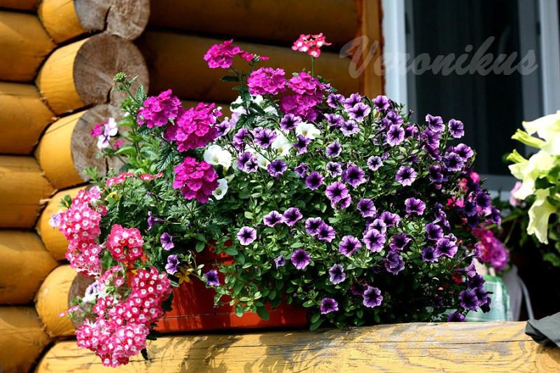 Littletunia Blue Vein + Verbena Empress Purple + Verbena Empress Strawberry Charme
