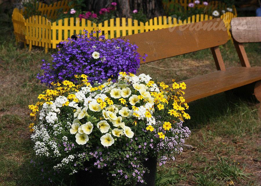 Confetti Garden Sunshine + Алиссум Clear Cristall White и бакопа Blutopia (из семян)