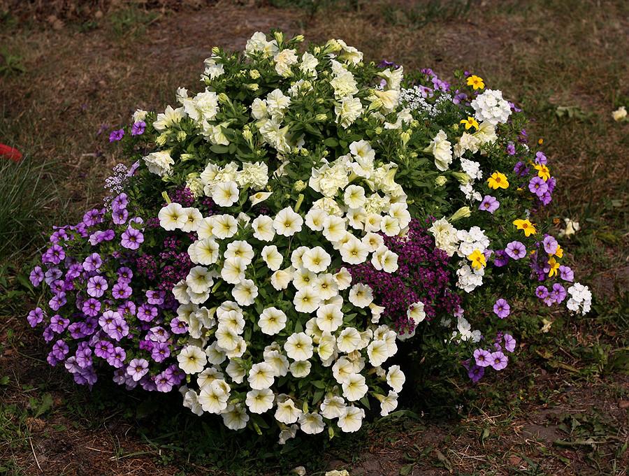 Tumbelina Susanna (в центре, кремовая махровая) + Surfinia Table Yellow + Calibrachoa Aloha Blue Sky + Алиссум Clear Cristall (White, Lavender Shades и Purple)