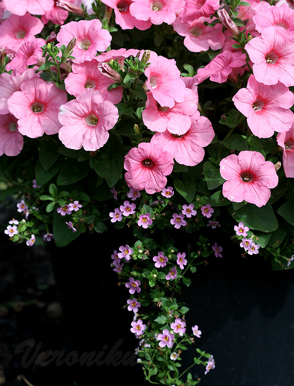 Ramblin Peach Glo и Bacopa Scopia Great Pink Beauty