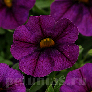 ���������� Kabloom Deep Blue - 5 ��